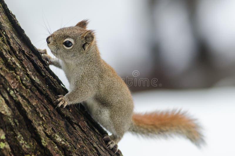La ardilla roja de la primavera, pequeña criatura rápida del arbolado se detiene brevemente solamente por un segundo imagen de archivo libre de regalías
