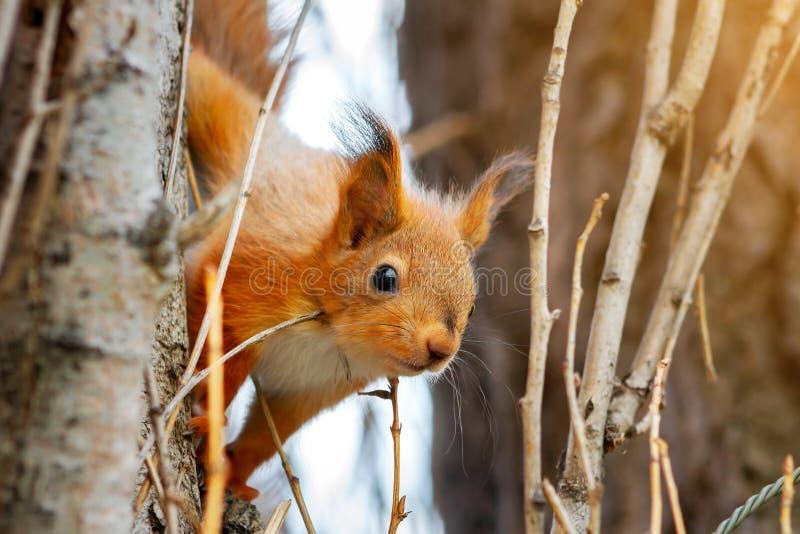 La ardilla roja joven mira hacia fuera de detrás un tronco de árbol Primer del Sciurus vulgaris imagen de archivo