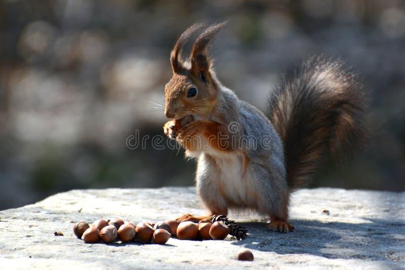 La ardilla roja que se sienta en una roca y come nueces imagen de archivo