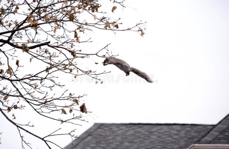 La ardilla salta a las ramas de árbol fotografía de archivo libre de regalías