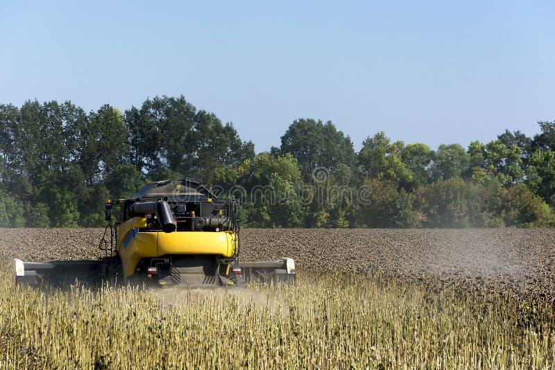 la Associazione-mietitrice in un campo effettua il raccolto del girasole per la fabbricazione dell'olio ed utilizzarlo nell'indus fotografie stock