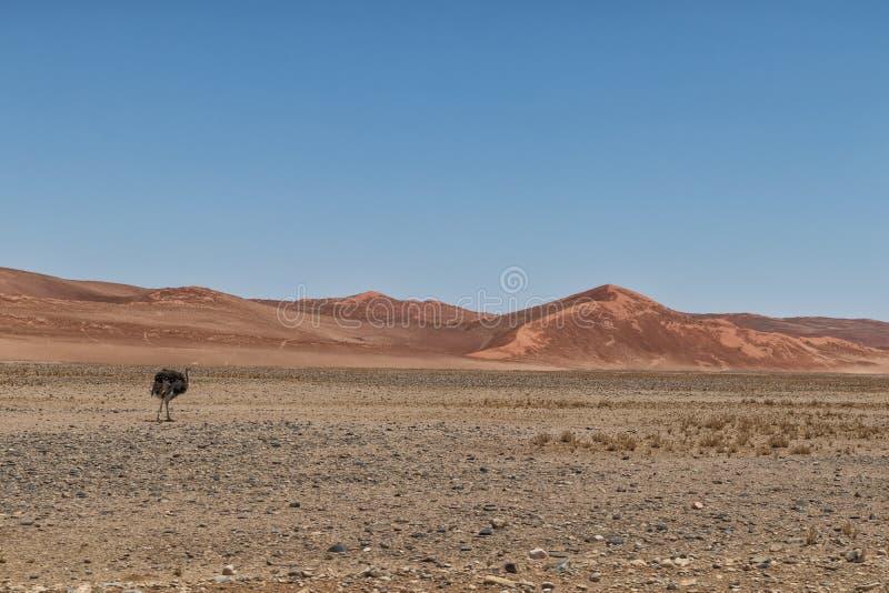 La avestruz camina en el desierto de Sossusvlei, Namibia, con las dunas rojas imagenes de archivo
