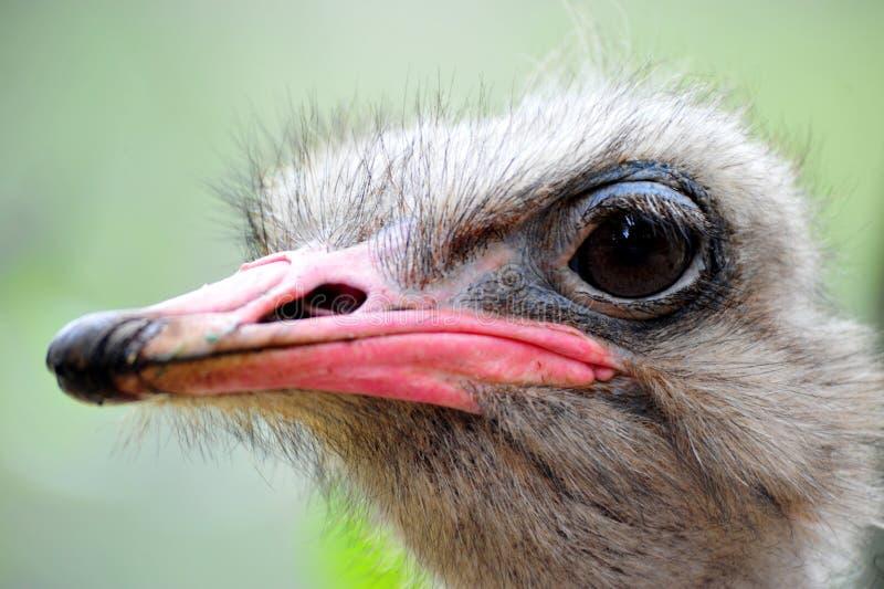 La avestruz de la avestruz head foto de archivo