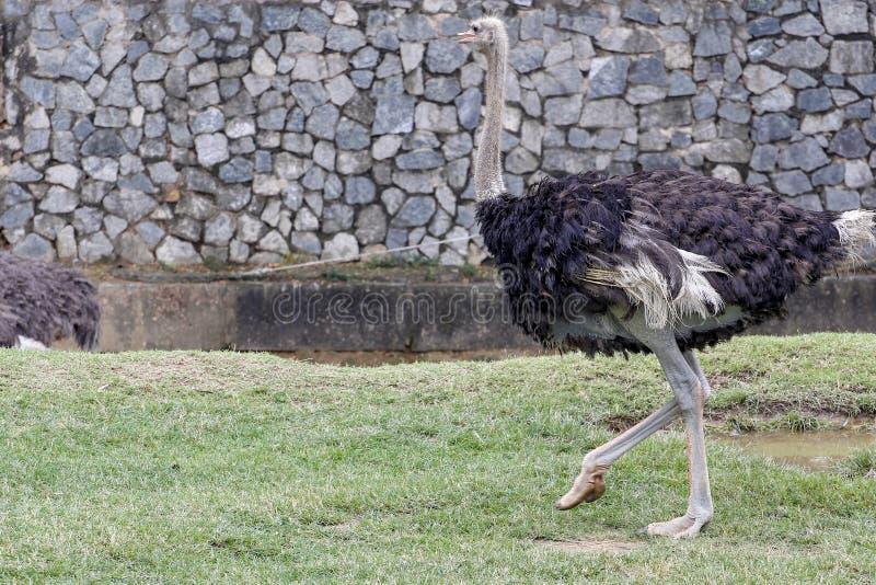 La avestruz en el jardín foto de archivo