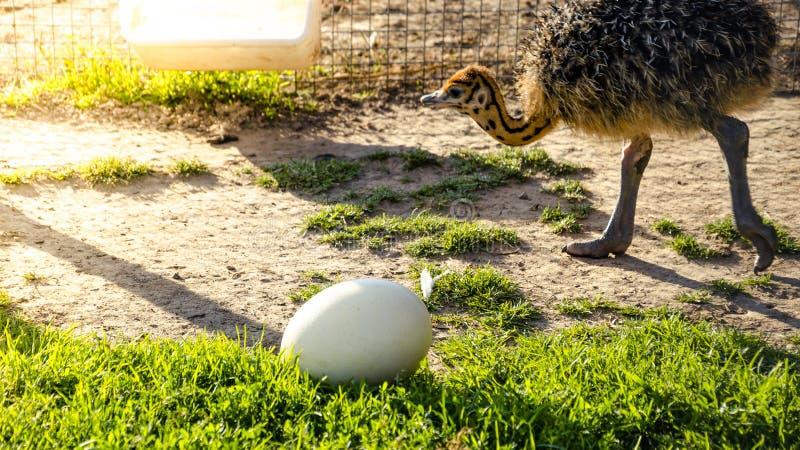 La avestruz joven del bebé va a la colocación de huevo grande en la hierba verde fotografía de archivo libre de regalías
