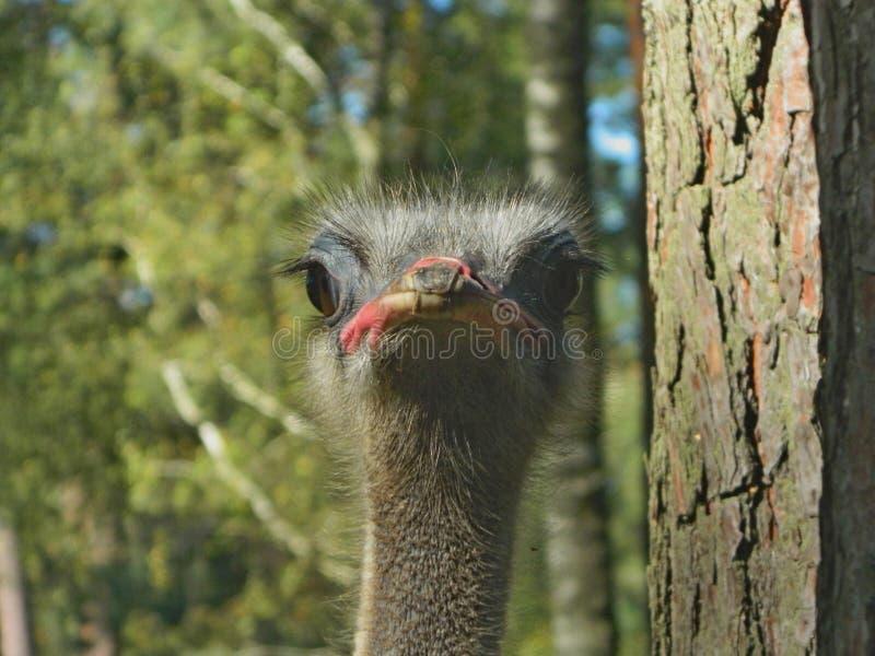 La avestruz mira en sus ojos foto de archivo libre de regalías