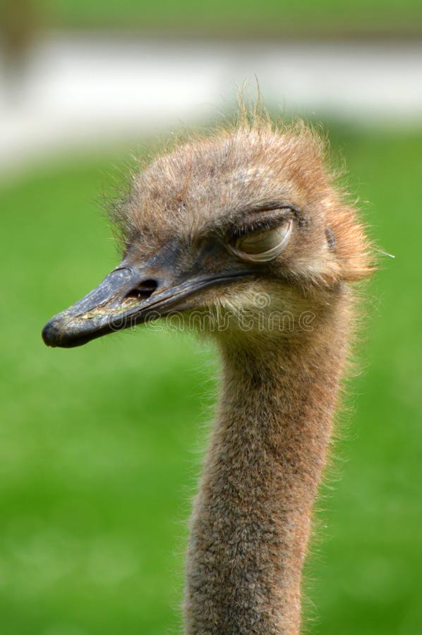 La avestruz que cierra el suyo observa imagenes de archivo