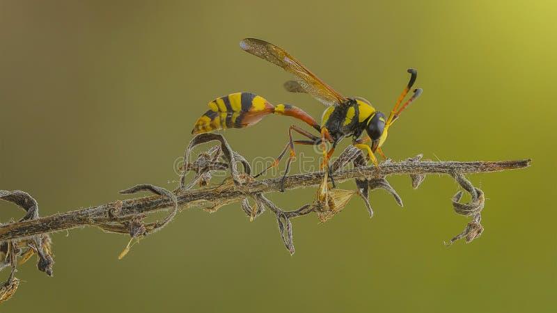 La avispa amarilla en rama foto de archivo
