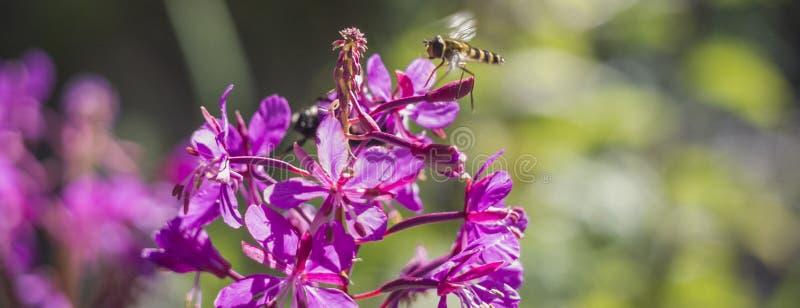 La avispa del vuelo para la polinización de flores foto de archivo libre de regalías