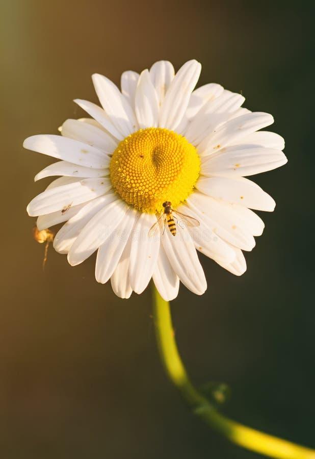 La avispa en la flor fotos de archivo libres de regalías