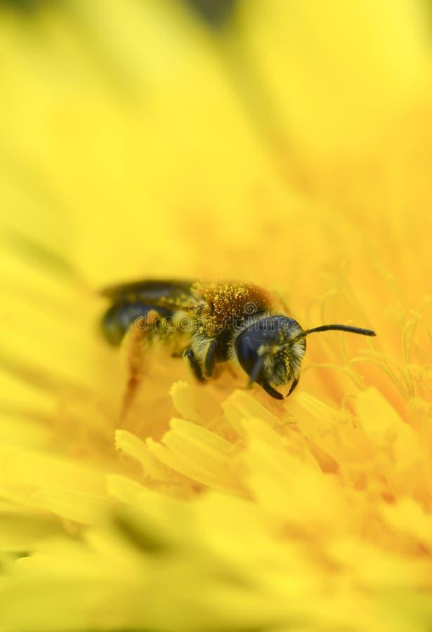 La avispa recoge el polen en vertical macra de la foto del diente de león amarillo imagenes de archivo