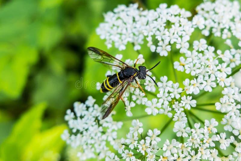 La avispa se sienta en la flor y néctar de la consumición foto de archivo libre de regalías