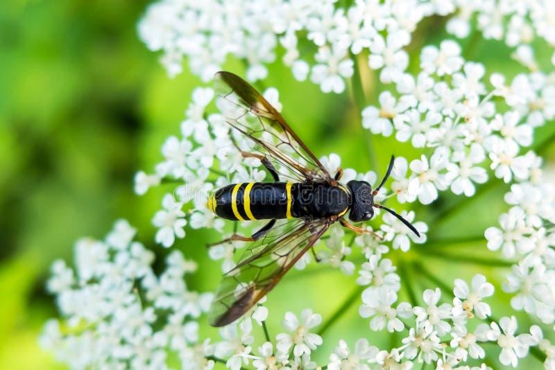 La avispa sienta la flor y néctar de la consumición imágenes de archivo libres de regalías