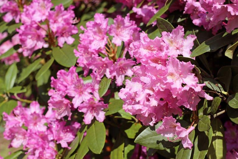 La azalea rosada florece con las gotitas de agua en los pétalos en el sol foto de archivo