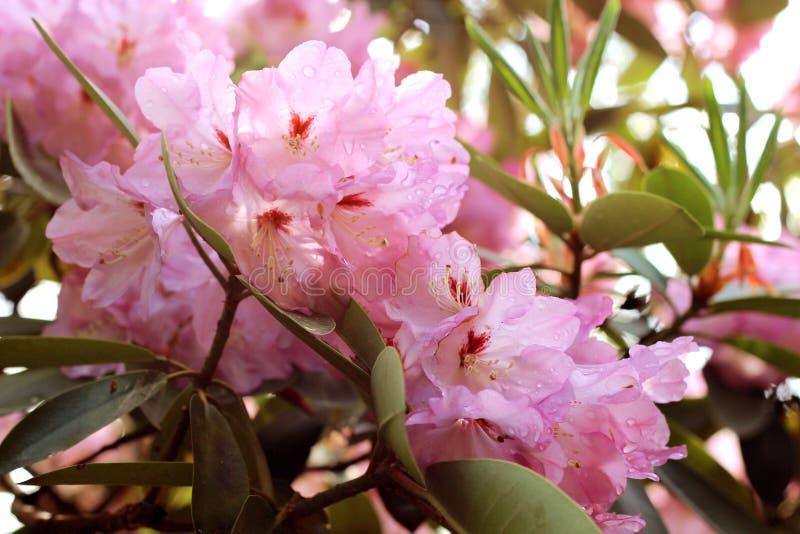La azalea rosada florece con las gotitas de agua en los pétalos en el sol Campo de la lluvia del jardín de Rodendron fotografía de archivo libre de regalías