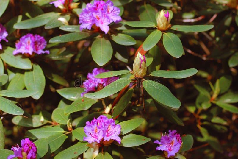 La azalea rosada florece con las gotitas de agua en los pétalos en el sol Campo de la lluvia del jardín de Rodendron imagenes de archivo
