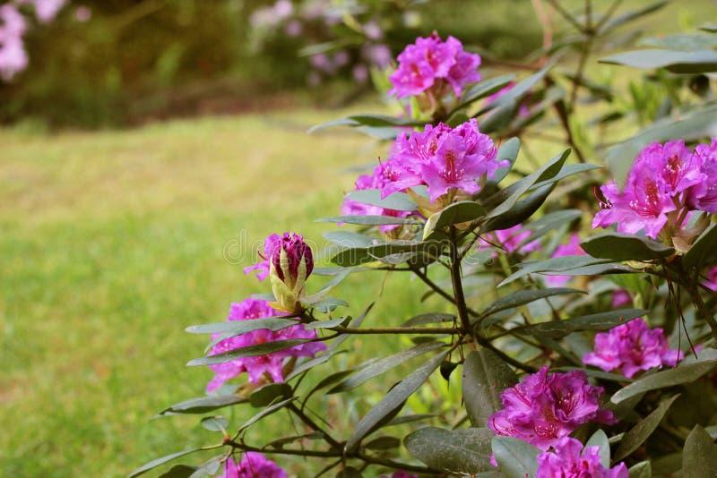 La azalea rosada florece con las gotitas de agua en los pétalos en el sol Campo de la lluvia del jardín de Rodendron imagen de archivo