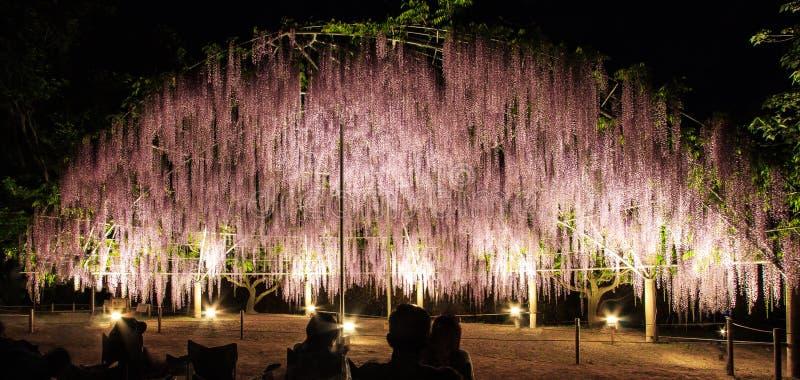 La bóveda de la flor del enrejado purpúreo claro de la glicinia en la floración en la noche en el parque de la flor de Ashikaga,  imagen de archivo