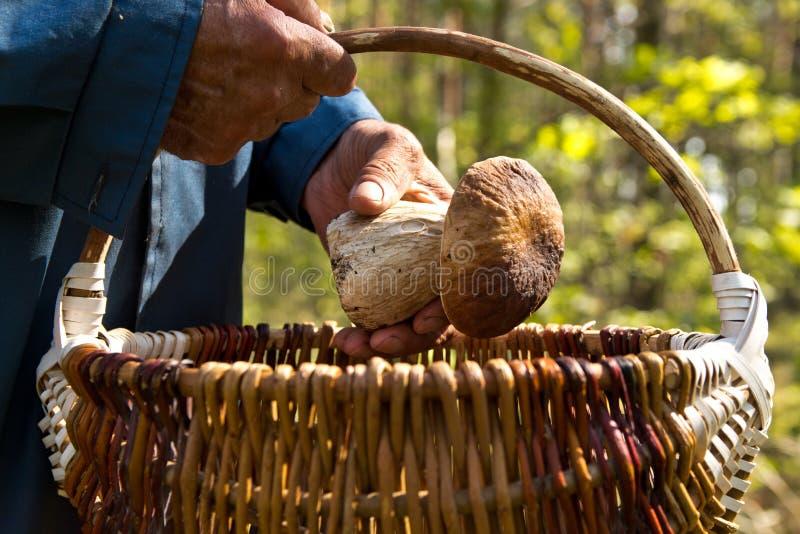 La búsqueda para las setas en el bosque Recogedor de la seta Un hombre mayor pone una seta blanca en la cesta imagenes de archivo