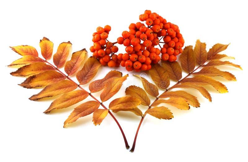 La baie de sorbe mûre avec la couleur pousse des feuilles en automne images libres de droits