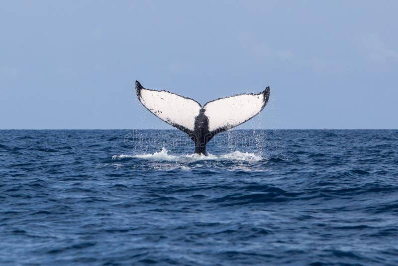 La baleine de bosse élève le flet de l'océan image libre de droits