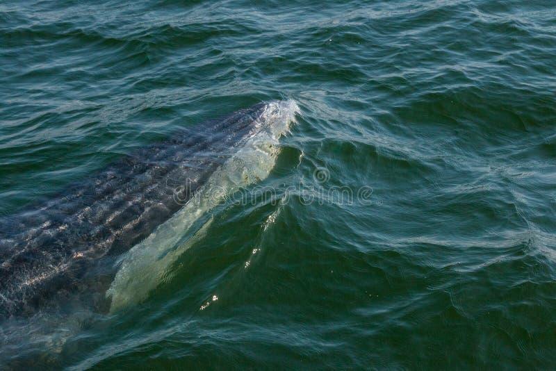 La balena di Bryde del bambino nuota rapidamente alla superficie dell'acqua per esalare la b fotografia stock libera da diritti
