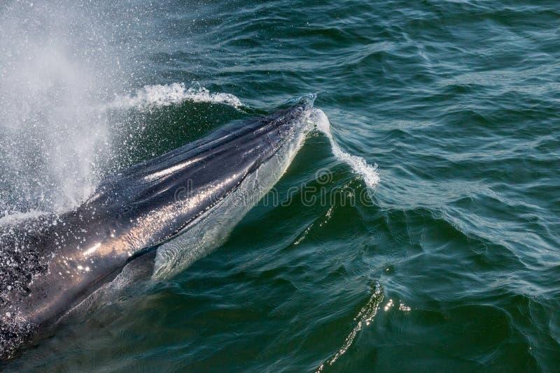 La balena di Bryde del bambino nuota rapidamente alla superficie dell'acqua per esalare la b immagine stock libera da diritti