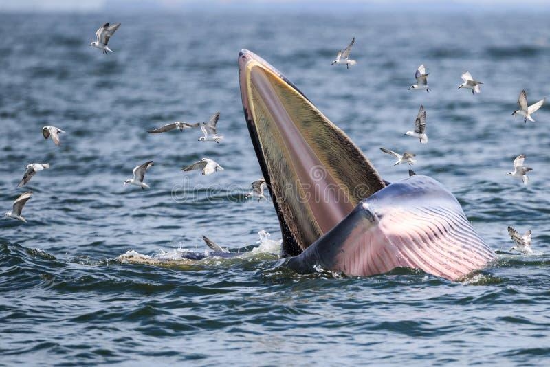 La balena di Bryde, la balena dell'Eden che mangia pesce fotografia stock libera da diritti