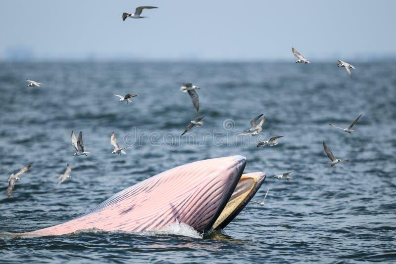 La balena di Bryde, la balena dell'Eden nel golfo del Siam fotografia stock