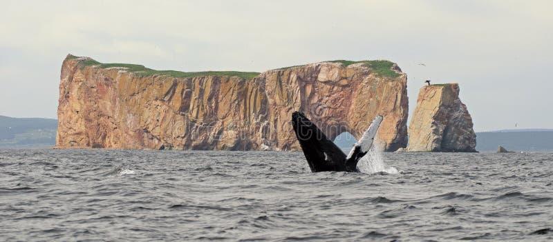 La balena di Humpback salta immagini stock libere da diritti