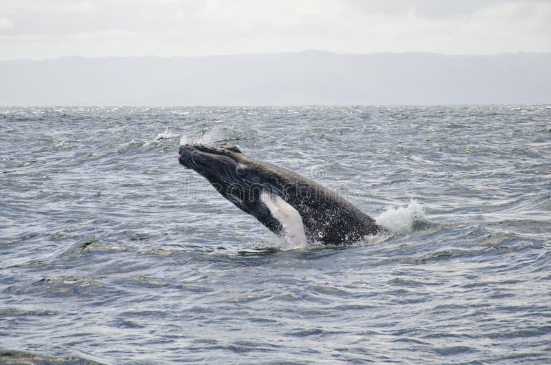 La balena salta immagine stock libera da diritti