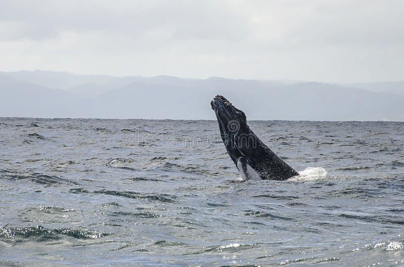 La balena salta fotografia stock libera da diritti