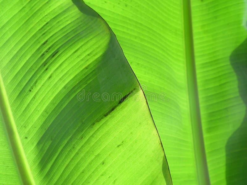 La banana lascia III immagini stock