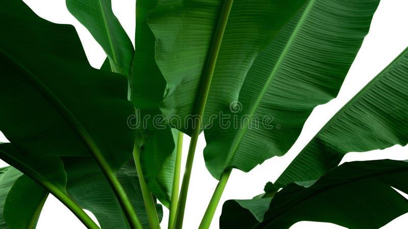 La banana tropicale verde lascia l'albero isolato su fondo bianco fotografia stock
