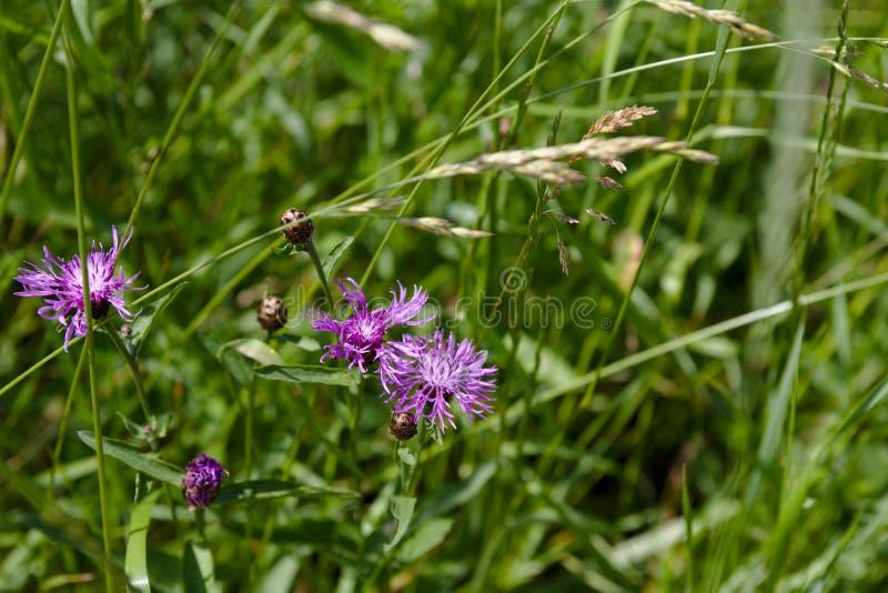 La bandera de los brotes del cardo y las flores en un verano colocan fotos de archivo