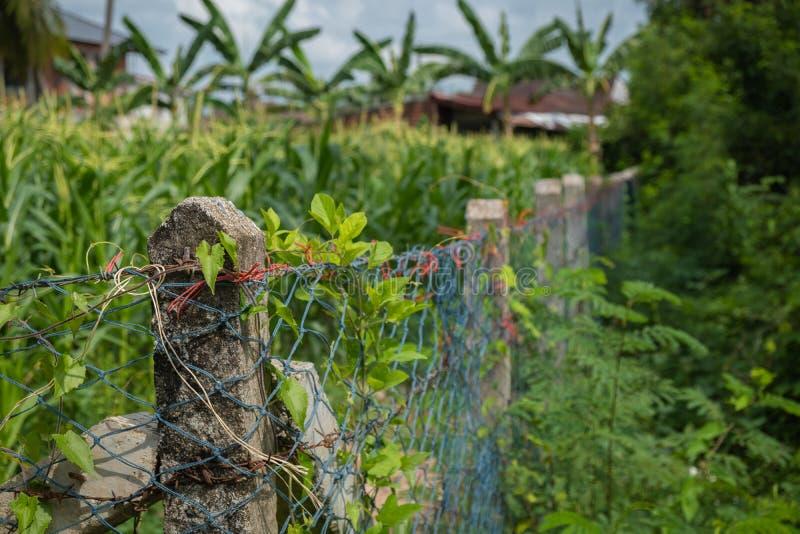 La barrière épineuse est un champ de maïs Le temps de récolte est près image stock