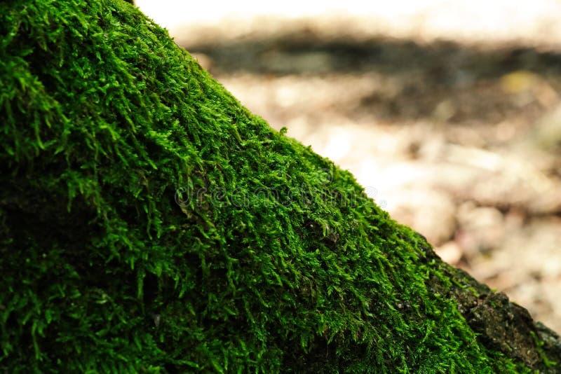 La base del tronco dell'albero ricoperto di muschio si avvicina alla luce del sole luminosa sullo sfondo fotografia stock