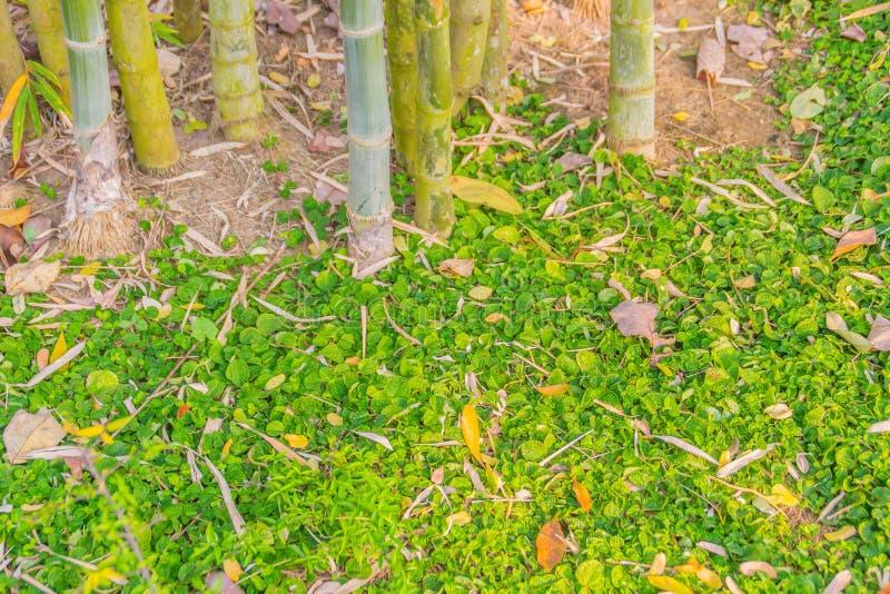 La base dell'albero di bambù invaso con erba verde ed asciuga le foglie per fondo e copia lo spazio per il vostro testo immagini stock