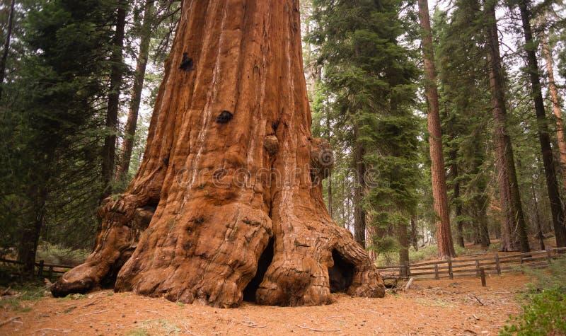 La base pianta l'albero Forest California della sequoia gigante fotografia stock
