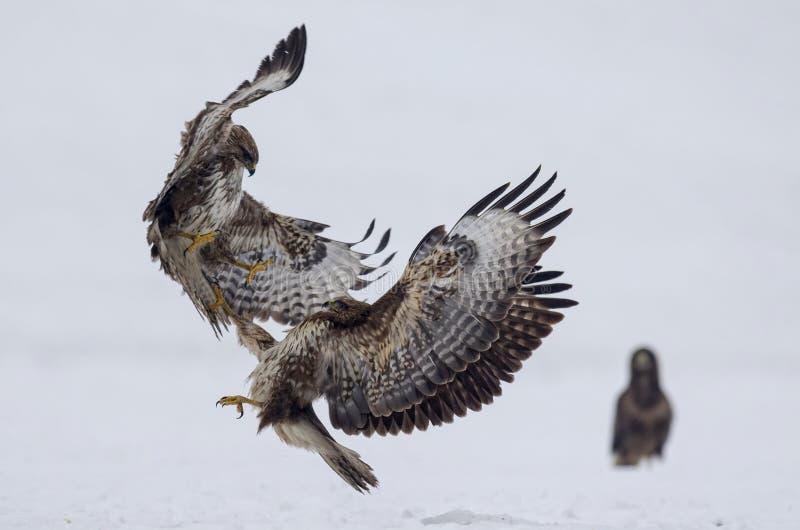 La batalla entre los pájaros depredadores foto de archivo libre de regalías