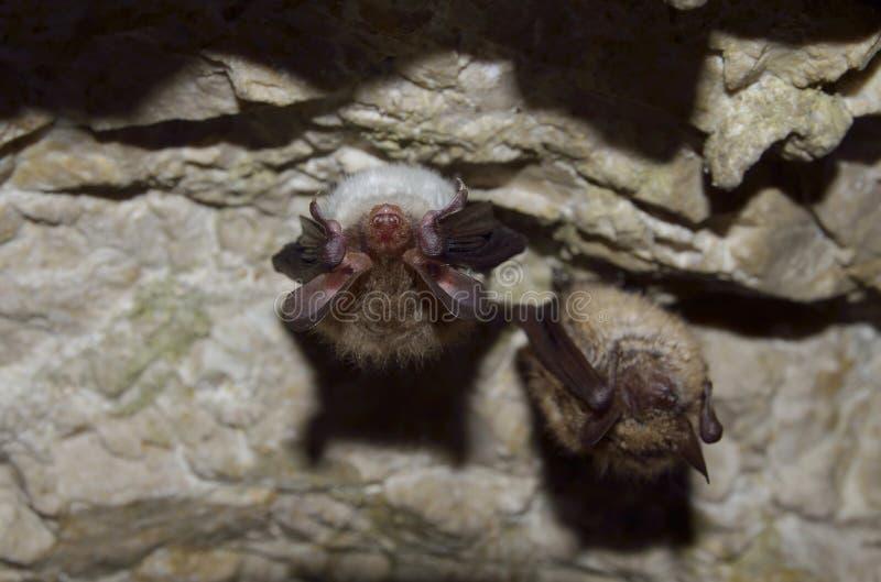 La batte de Bechstein et la plus grande batte souris-à oreilles photographie stock libre de droits