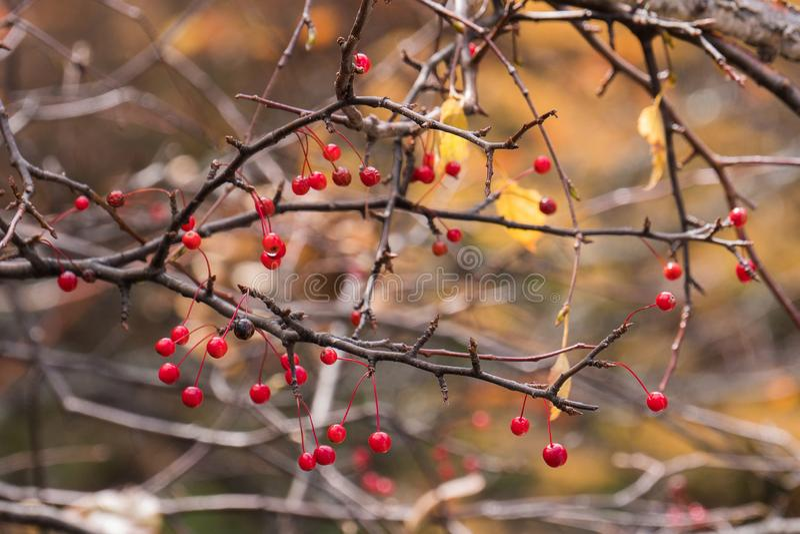 La baya roja en la rama con un otoño borroso deja el fondo imagen de archivo libre de regalías