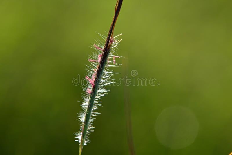 La beauté de l'herbe s'épanouit image stock