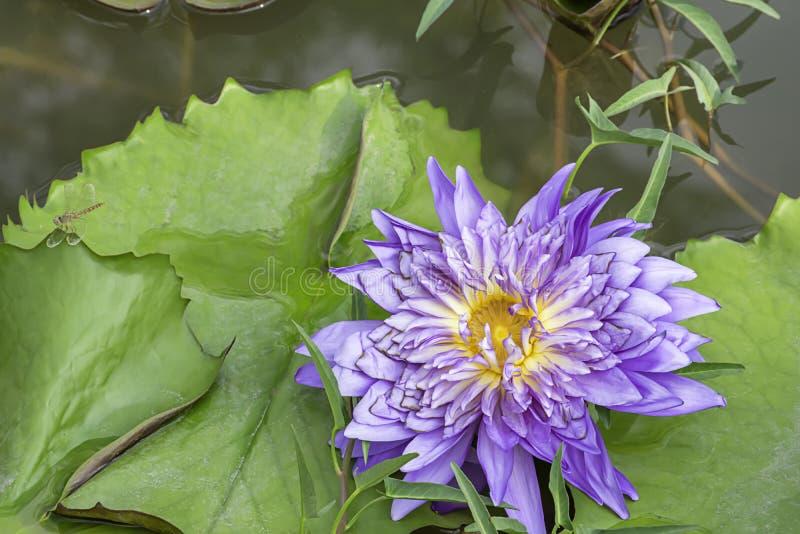 La beauté de Lotus Bloom pourpre dans les étangs et de la libellule sur la feuille photographie stock