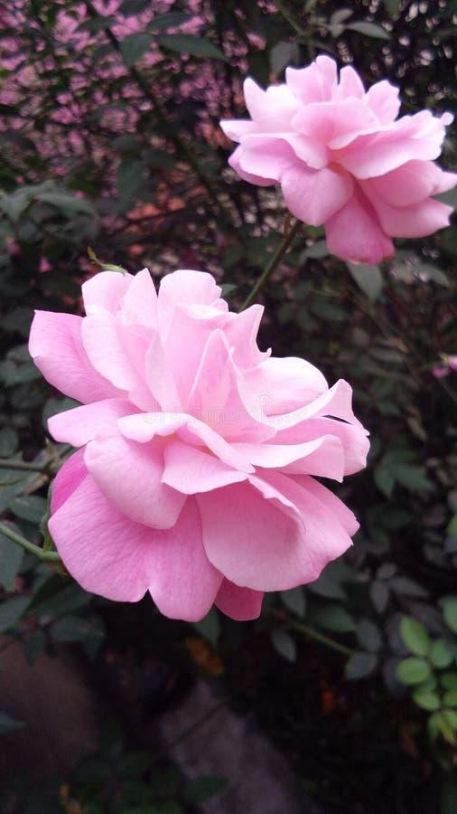 La beauté de récréation de la rose photos libres de droits