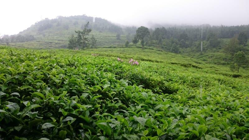 La beauté du jardin de thé images stock