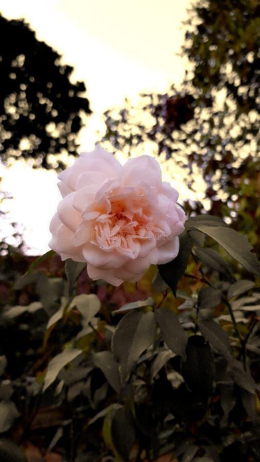 la beauté du jasmin pendant l'après-midi photo libre de droits