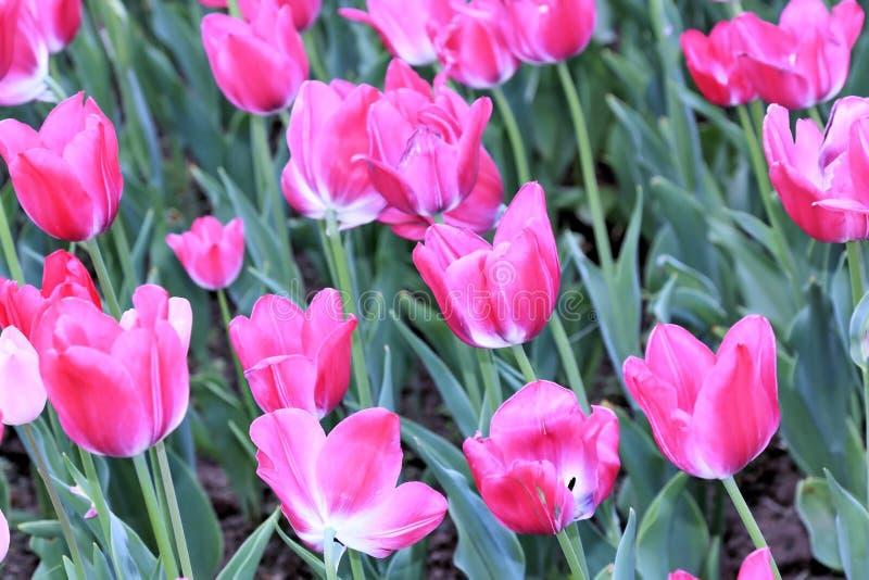 La beauté magique et douce des tulipes roses ouvertes vers les rayons du soleil images libres de droits