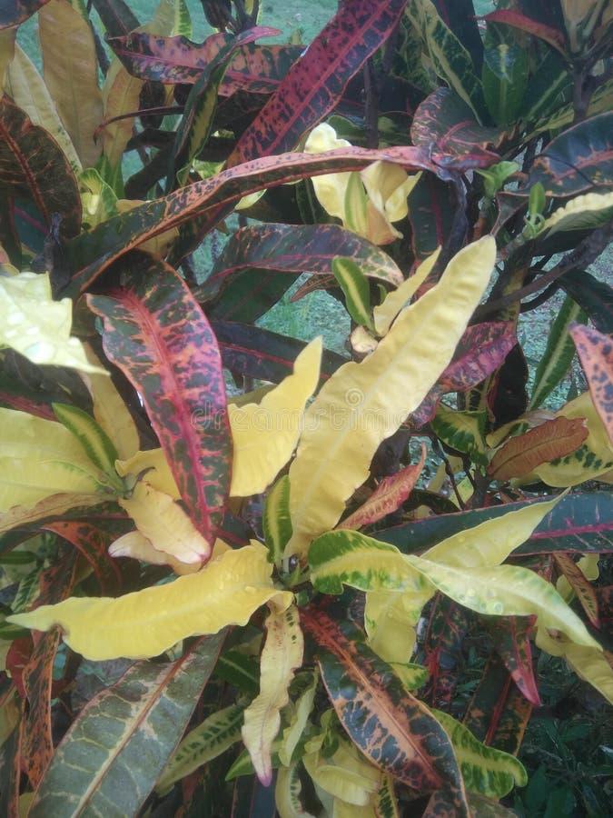 La beauté naturelle a monté couleur image libre de droits