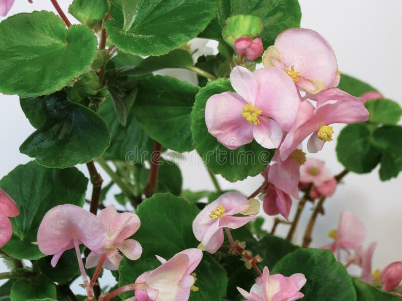 La begonia es una planta ornamental con las hojas abigarradas muy hermosas de diversas formas y de flores brillantes inolvidables foto de archivo